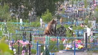 Медведи на кладбище