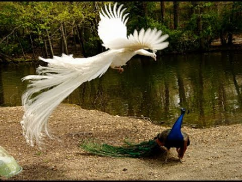 The Most Beautiful Rears Top 41 White Peacock Birds In The World