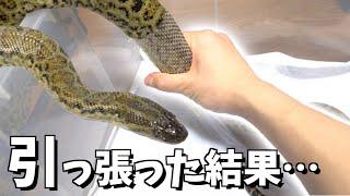 脱皮中の蛇を引っ張ったらどうなるのか?-Yellow anaconda Shedding-