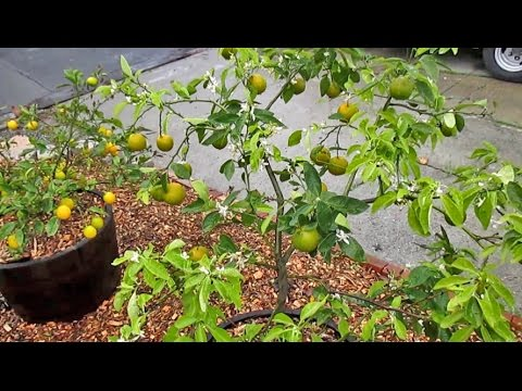 Best Fruit Trees to Grow in Containers & Why?