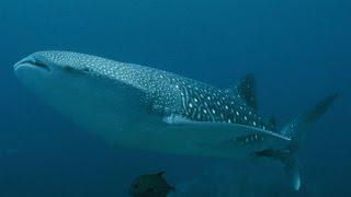 #4113. Акулы (В мире животных)