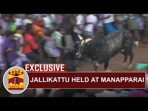 EXCLUSIVE   Jallikattu held at Manapparai   Thanthi TV