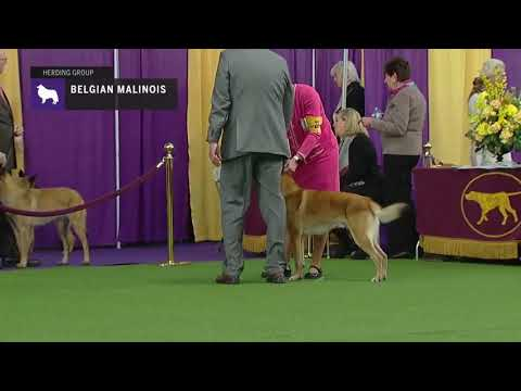 Belgian Malinois | Breed Judging 2019