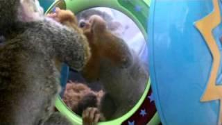 Totenkopfaffe Charly Darwin - mein erster Monat (Squirrl monkey Charly - my first month