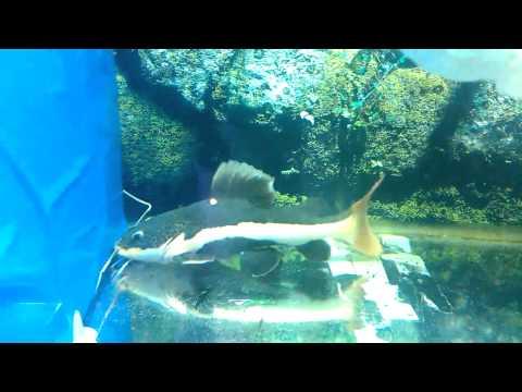 Cá Hồng Vỹ Mỏ Vịt đẹp - 0934539079