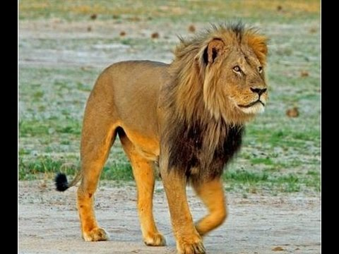 The man who collared Cecil the Lion - Newsnight