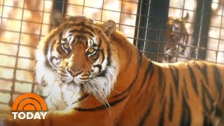 Tiger Attack: Topeka Zoo Director Says Keeper Is Recovering | TODAY