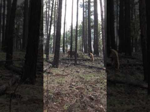 Bear vs.Elk
