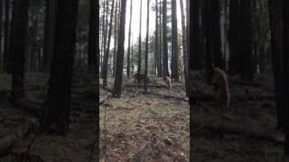 Bear vs.Elk