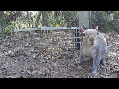 Trapping an Eastern Gray Squirrel