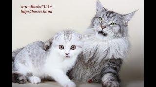 ЛУЧШИЕ КОШКИ И КОТЯТА МЕЙН КУН И ШОТЛАНДСКИЕ ВИСЛОУХИЕ 😻 THE BEST CATS MAIN COON and SCOTTISH FOLD