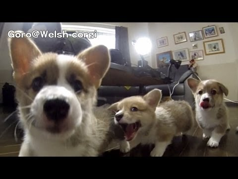 Six Minutes Of Corgi Puppies Running At A Camera In Slow Motion