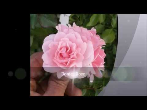 The Bonica Rose - Some Quick Facts