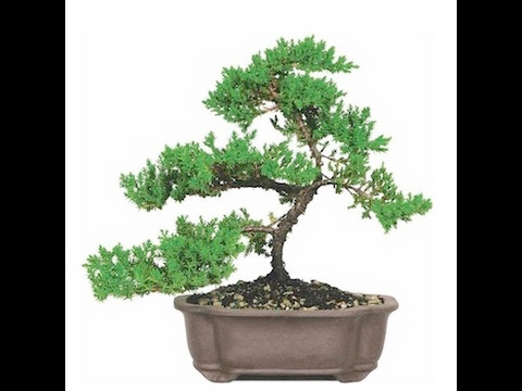 hqdefault Why Wiring Bonsai on bonsai cultivation and care, bonsai shapes, bonsai tools, bonsai blue, bonsai jade, bonsai accessories, bonsai without wires, bonsai artist, bonsai starter, bonsai copper wire, bonsai ficus varieties, bonsai wire sets, bonsai tree, bonsai lamps, bonsai wire sizes,