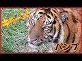 スマトラトラパンプの過ごし方 みさき公園 How to spend Sumatran tiger 'Pump' Misa…
