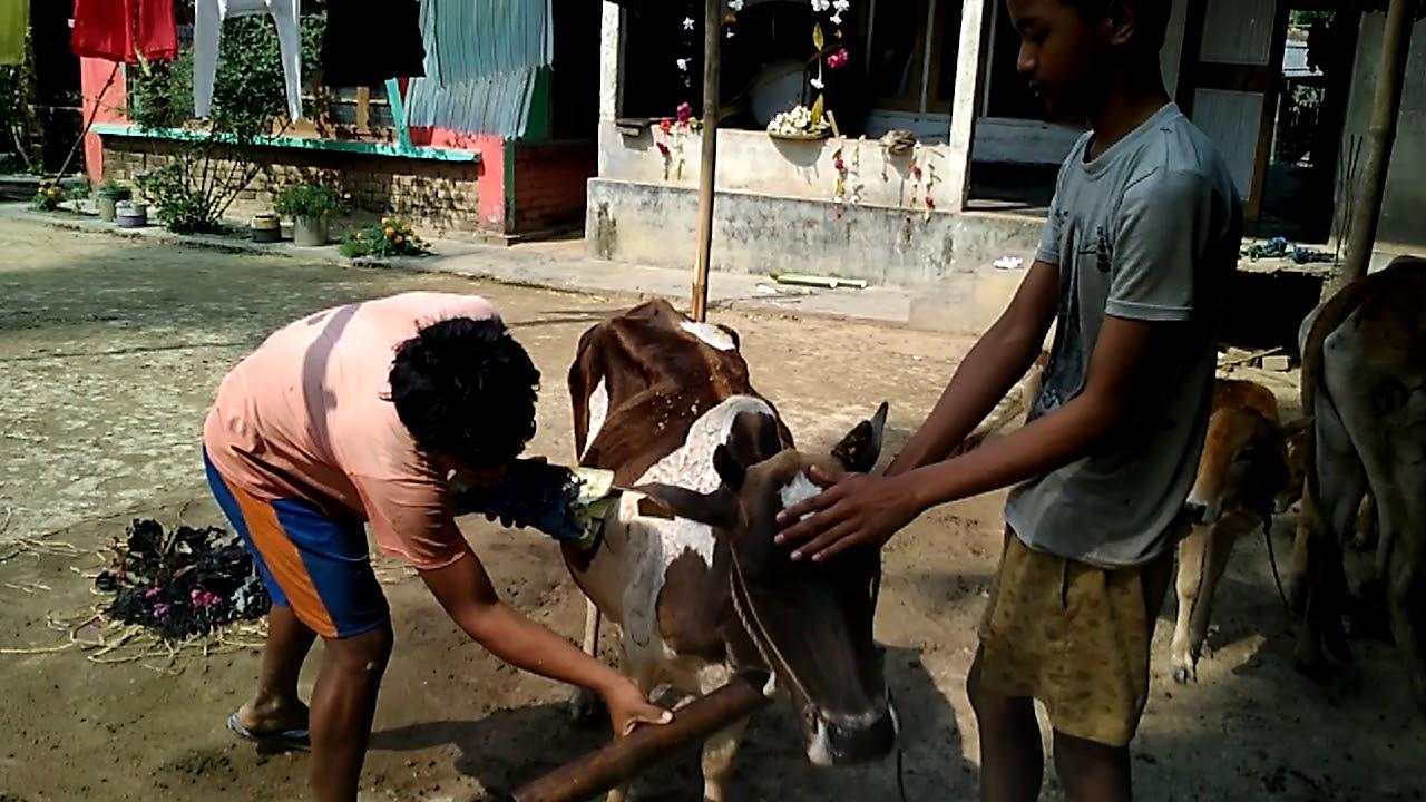 Image result for গৰু বিহু