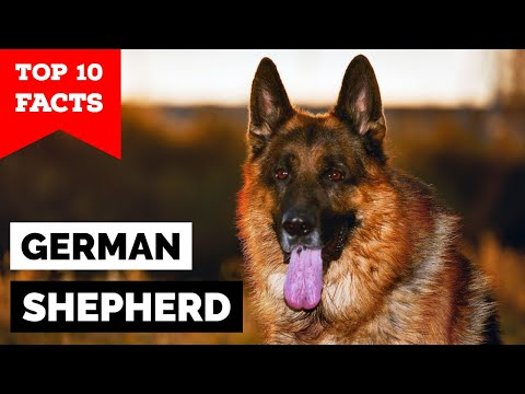 German Shepherd - Top 10 Facts