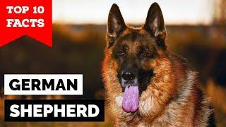 German Shepherd  Top 10 Facts