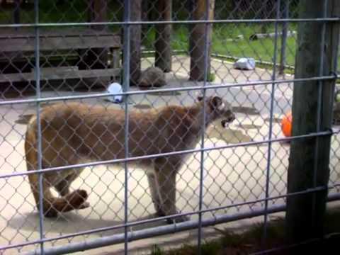 Cougar In Heat!