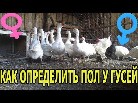 Как определить пол гусей взрослых