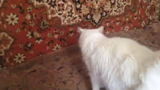 Белая ангорская кошка Маркиза ест и пьет