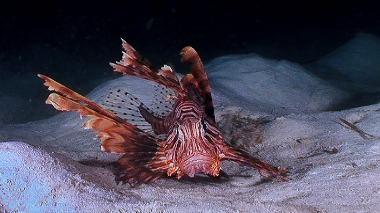 Lionfish Hunting | Earth Unplugged