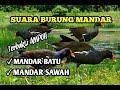 Suara Pikat Burung Mandar Terbukti Datang Mendekat  Mp3 - Mp4 Download