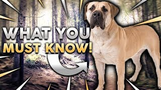 BOERBOEL 101! Everything You Need To Know About Owning A BoerBoel Puppy