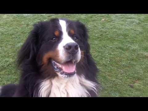 Bernese Mountain Dog Bubbly Buddy & Bichon Peppa mooching.