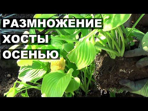 Размножение хосты осенью Как правильно пересадить хосту