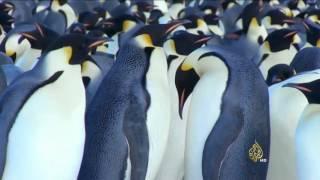 خطر انقراض طيور البطريق بالقطب المتجمد الجنوبي