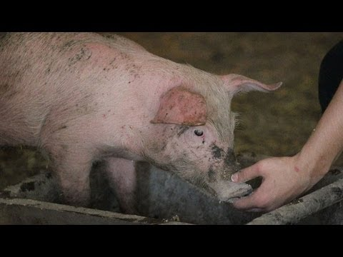 Mid-State Fair pig maybe connected to several influenza cases in SLO