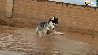 Husky Plays In His First Puddle