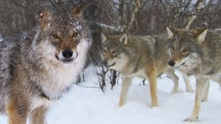 Meeting a Wolf Pack | Deadly 60 | Earth Unplugged