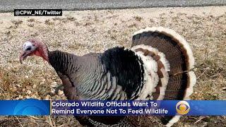 Turkey Survives Colorado's Cameron Peak Fire