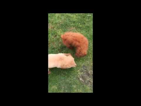 Mini Groodle Puppies