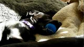 Harry Labrador X Patterdale Terrier Is Asleep With A Ball In His Mouth