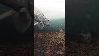 Атака щуки на живца под льдом Зимняя рыбалка на жерлицы