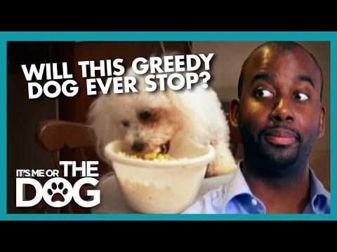 Greedy Bichon Frise Has No Self Control   It's Me or the Dog