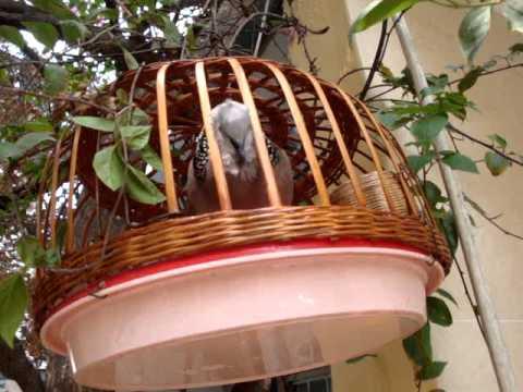 chim cu gáy giáng đầu