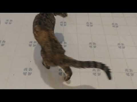 Oriental Shorthair Cat talking