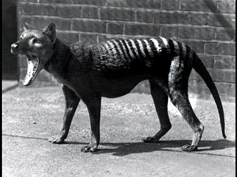 Last Tasmanian Tiger 1933