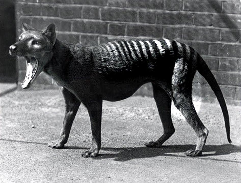 Last Tasmanian Tiger 1933 - YouTube