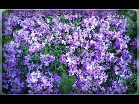 Садовые цветы, которые цветут ночью. Маттиола - ночная фиалка