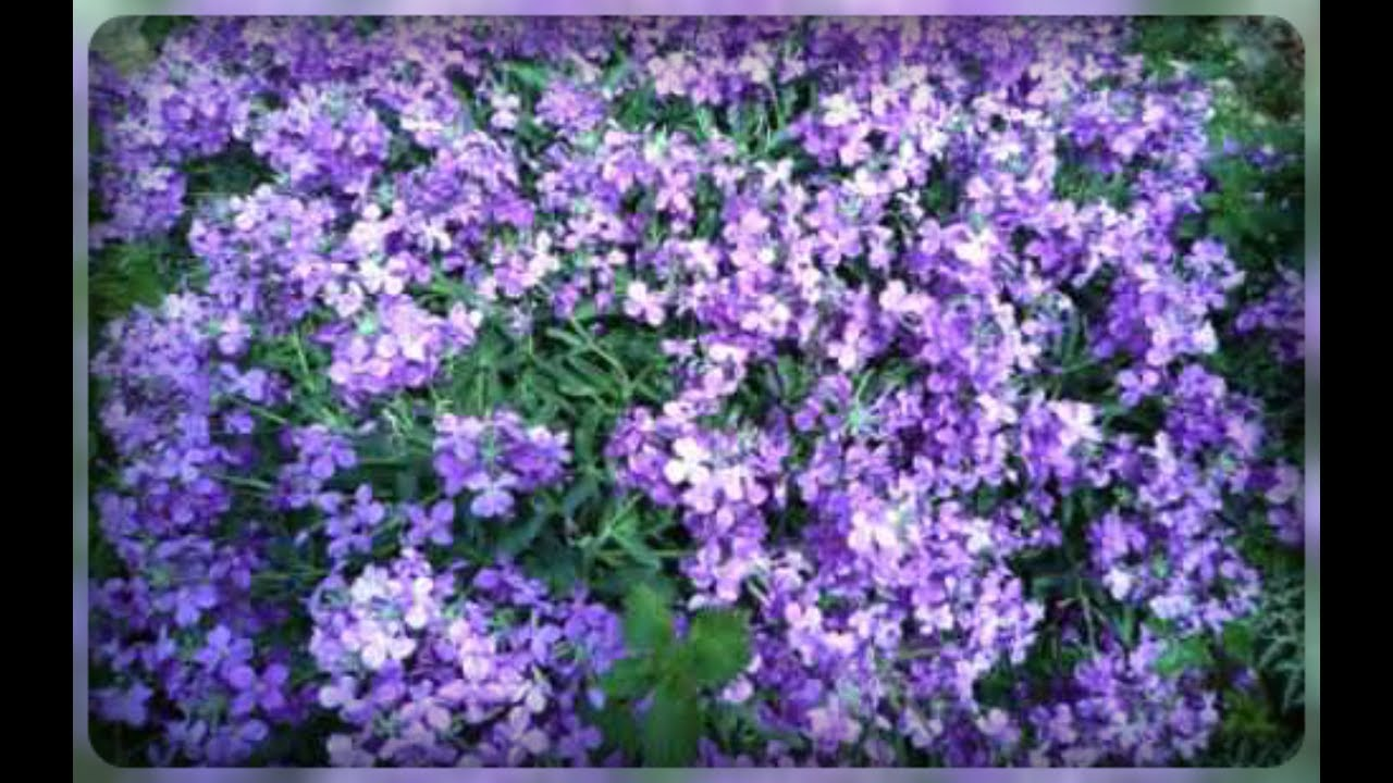 Цветы фиалка садовый фото