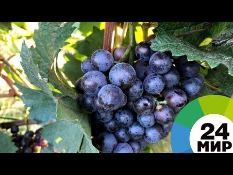 Сладкий виноград и сочные помидоры: армянские фермеры начали посевную - МИР 24