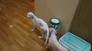 Экстремальные ориентальные и сиамские коты