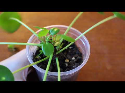 Results - Fast Propagation of Pilea Peperomioides