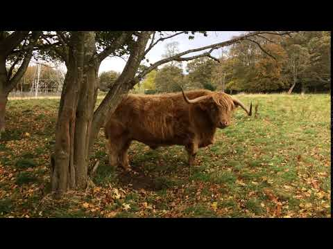 Highland Cow at Mortonhall Estate, Edinburgh