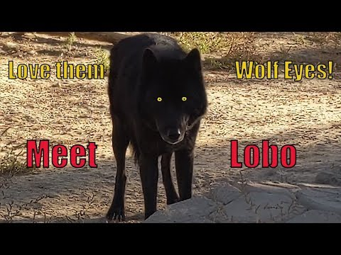 Meet Lobo - Black Wolves Look So Cool